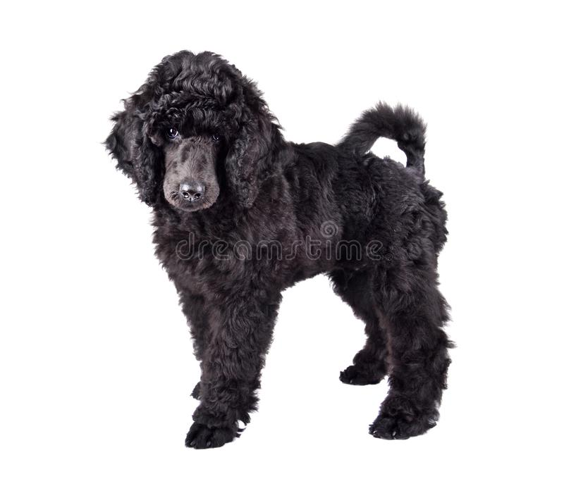 Black Poodle puppy. Three months old puppy of standard black poodle isolated on a white background stock photos