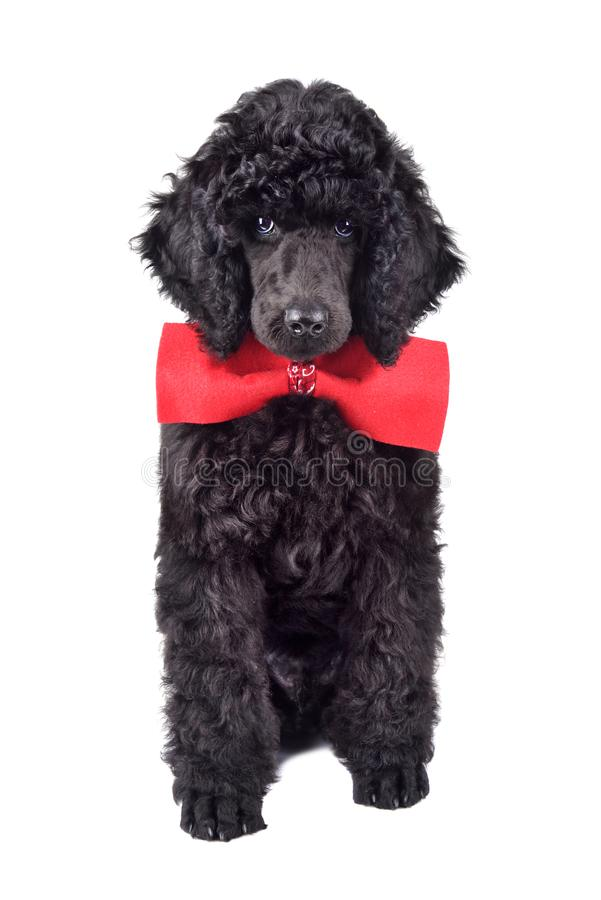 Black Poodle puppy. Three months old puppy of standard black poodle in red necktie on a white background royalty free stock photos