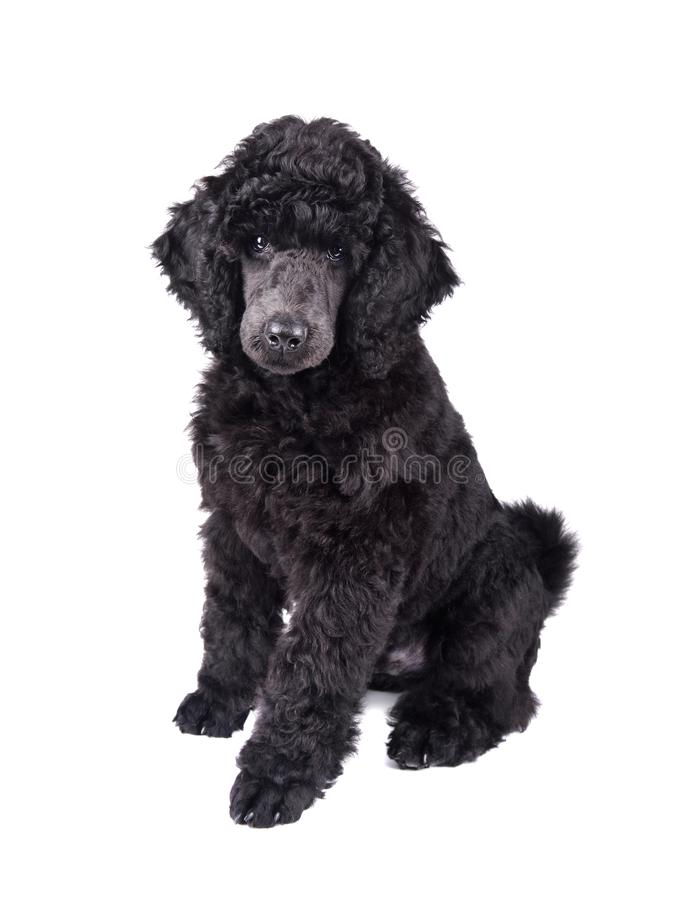 Black Poodle puppy. Three months old puppy of standard black poodle sitting on a white background royalty free stock photo