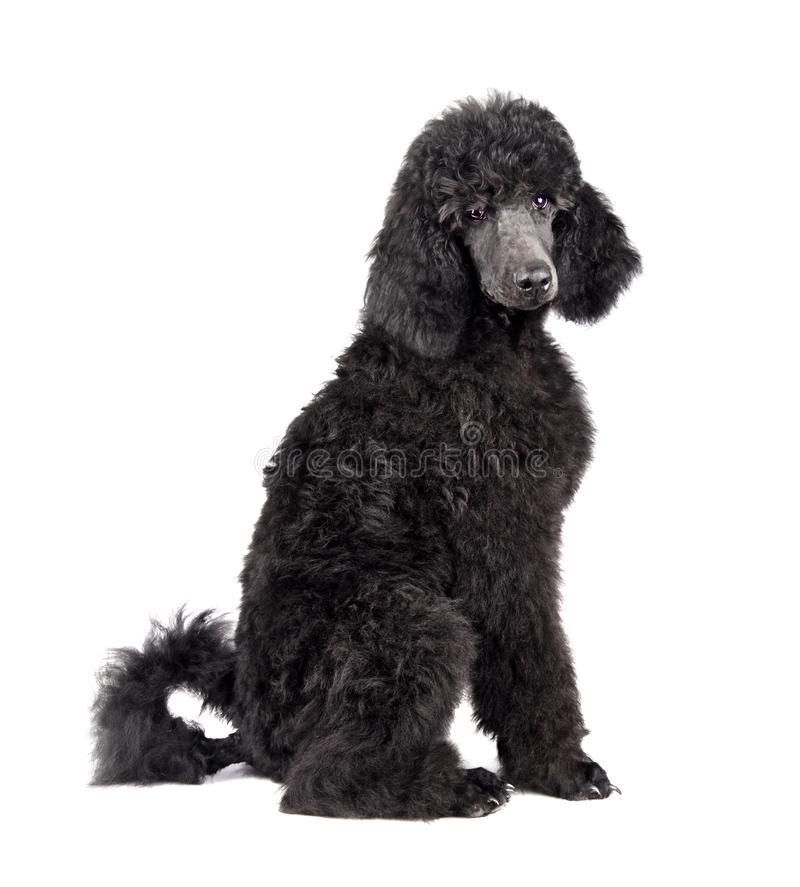 Black Poodle puppy. Three months old puppy of standard black poodle sitting on a white background royalty free stock photos