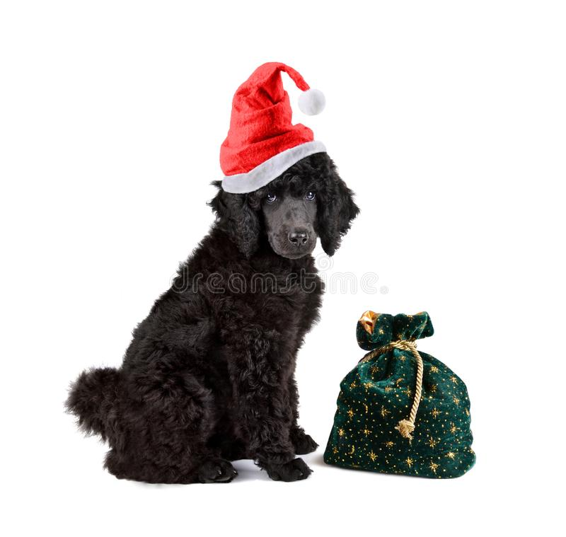 Black poodle. In red Santa Claus hat with bag full of gifts on a white background royalty free stock image