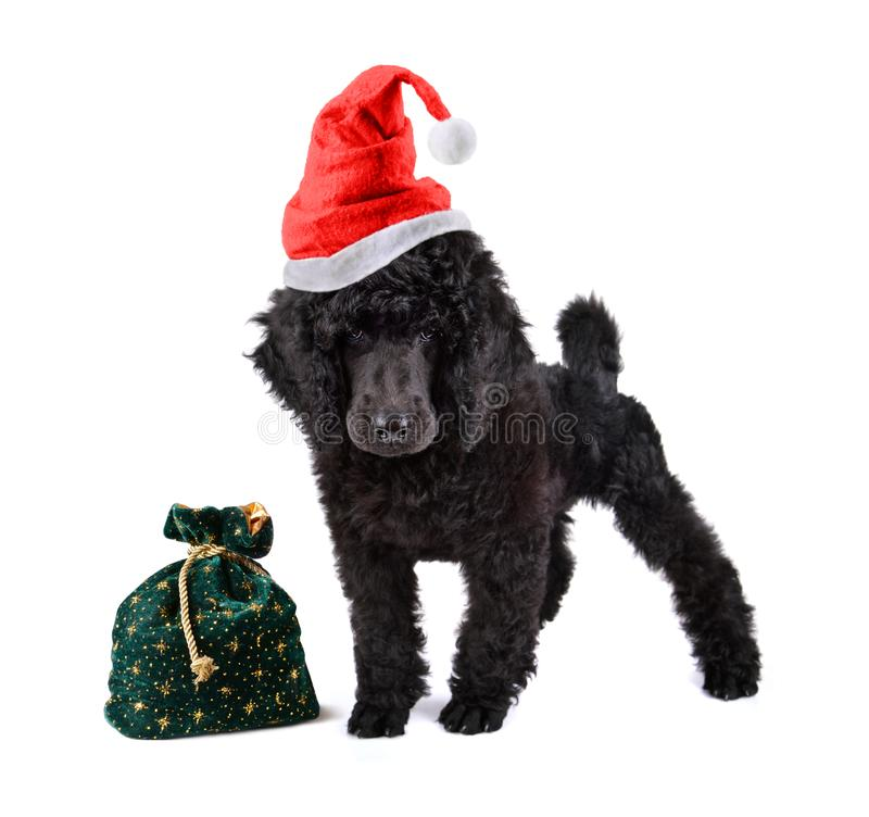 Christmas puppy poodle. Black poodle in red Santa Claus hat with bag full of gifts on a white background royalty free stock photos