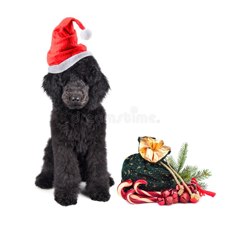 Christmas puppy poodle. Black poodle in red Santa Claus hat with bag full of gifts on a white background stock photos