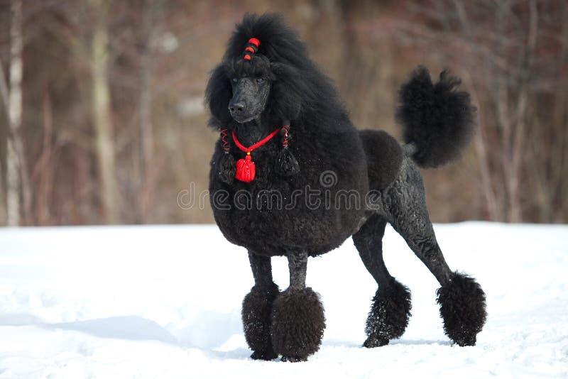 black poodlen arkivfoto