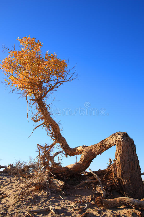 The black poplar with golden leaves stock photos