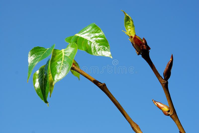 Black Poplar Stock Photo