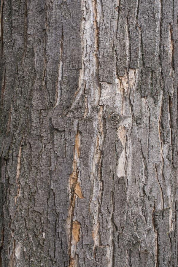 Black poplar tree bark stock photography