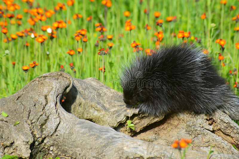 Black porcupine feeds on a orange Hawkweed Flower. Beautiful porcupine in a field of orange Hawkweed stock photos