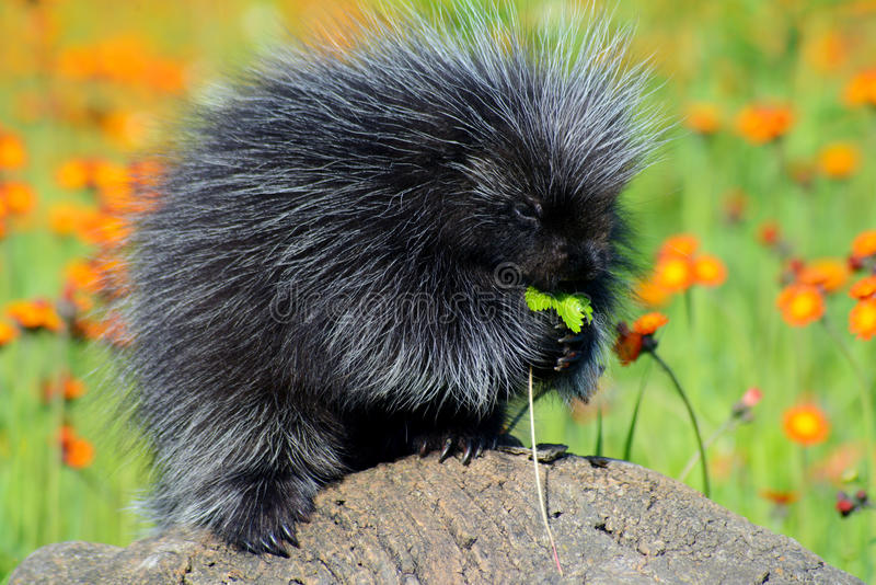 Black porcupine feeds on a orange Hawkweed Flower. Beautiful porcupine in a field of orange Hawkweed royalty free stock image