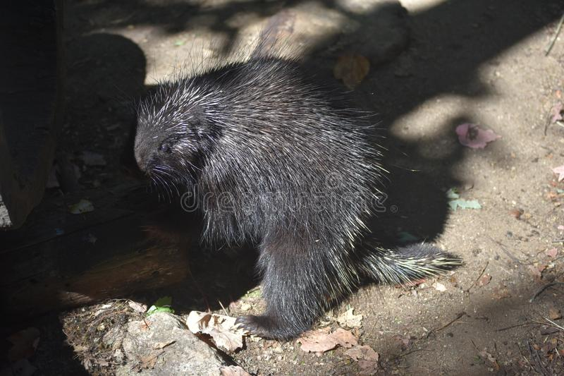 Black porcupine standing on its hind legs in the shade stock images