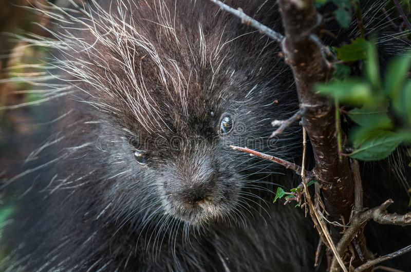 Black porcupine head stock photography