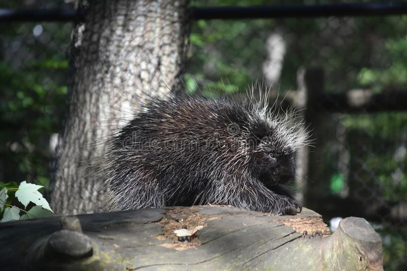 Black porcupine with white tipped prickly quills. Sweet porcupine calmly climbing onto a log royalty free stock images