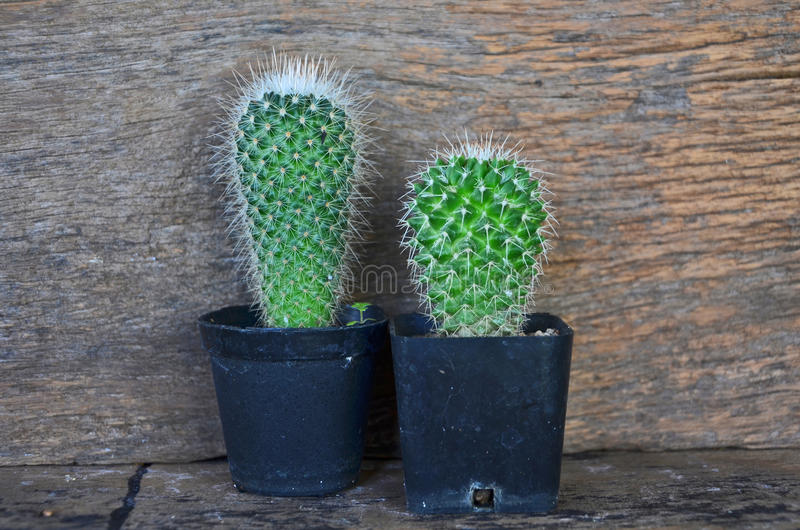 Black pots of green cactus stock image