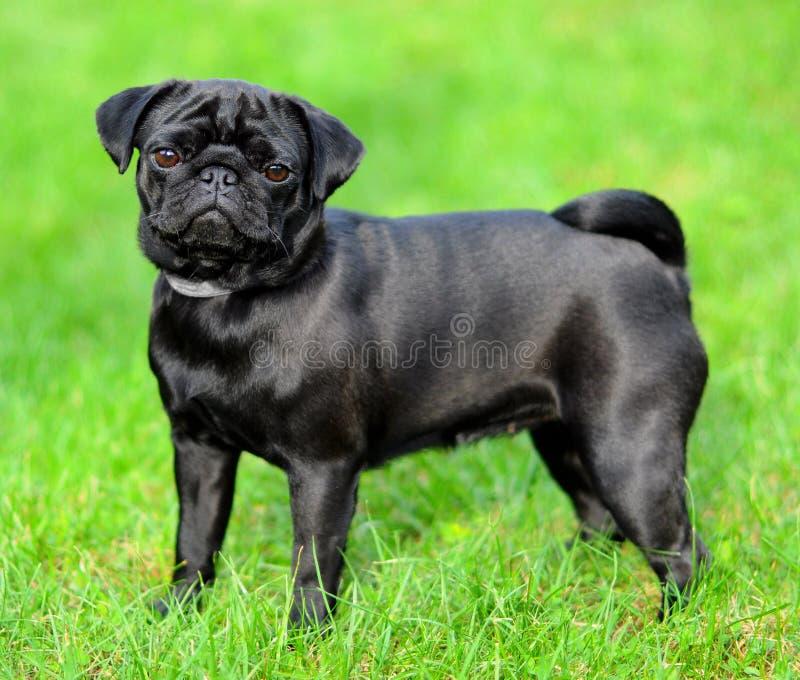 Black pug royalty free stock photo