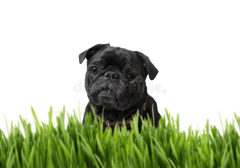 Black Pug Behind Grass Royalty Free Stock Image