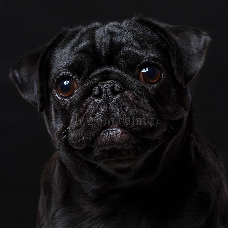 Black pug dog, on a black background. Portrait royalty free stock photography