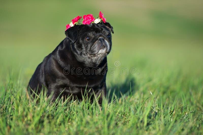 Best Pug Black Adorable Dog - black-pug-dog-posing-outdoors-adorable-92387662  Perfect Image Reference_16519  .jpg