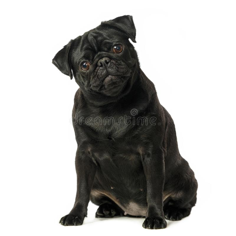 Black pug dog, on white background. Isolated stock photo