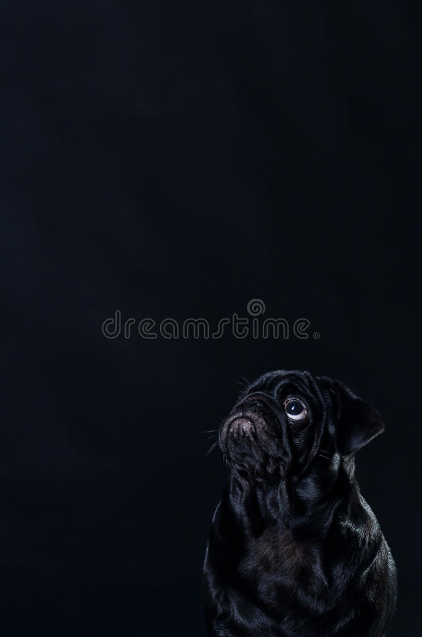 Black pug or mops dog royalty free stock photos