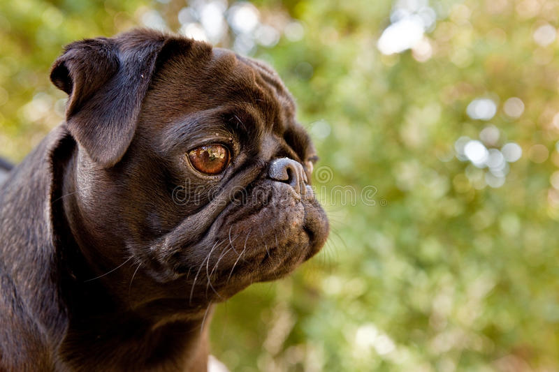 Black Pug profile. Profile of black pug in the forest stock photos