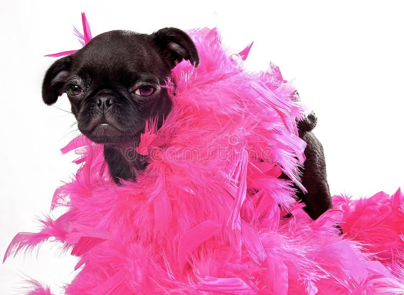 Black Pug Puppy with Pink Boa. Black Pug puppy wearing a pink feather boa royalty free stock image