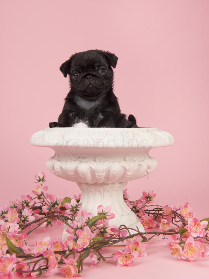 Black pug puppy in a white flowerpot with pink flowers on a pink background stock image