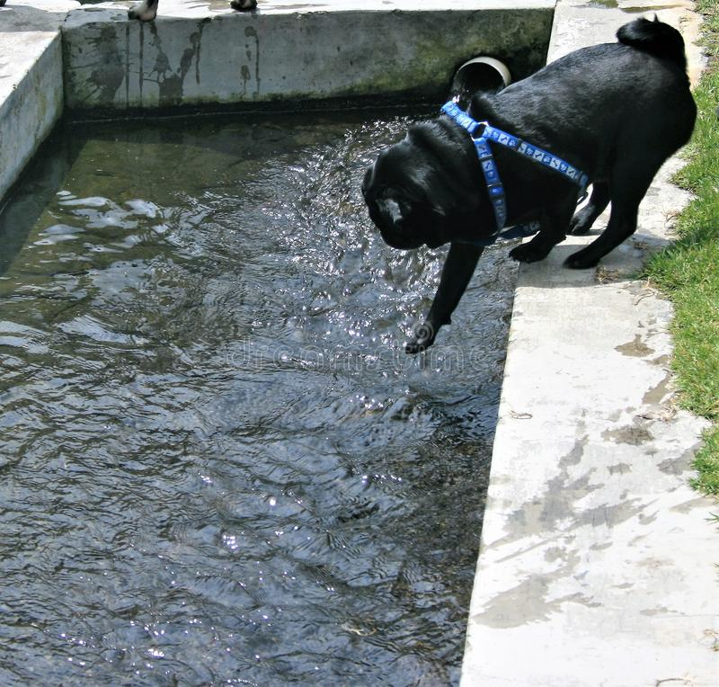 Black Pug reaching into pond to test the water. Black Pug reaching with his paw to test the water before going in royalty free stock images