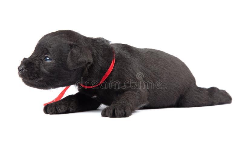 Download Black puppy stock image. Image of schnauzer, puppy, hund - 24922009