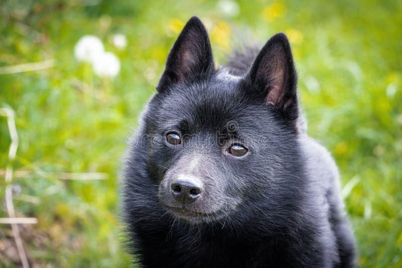 Black puppy dog on grass stock image