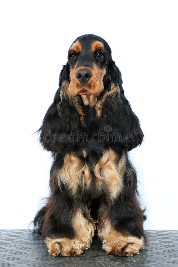 Free Black Puppy English Cocker Royalty Free Stock Photo - 7805355