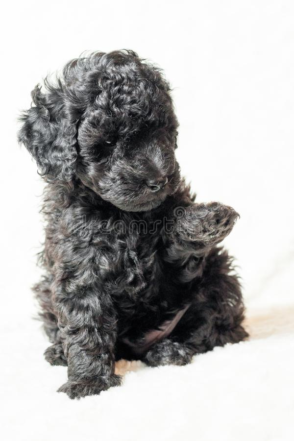 Black puppy is lying on a white blanket stock photo