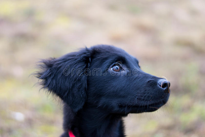 Black puppy royalty free stock photo