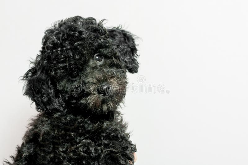Black puppy poodle on white background stock image