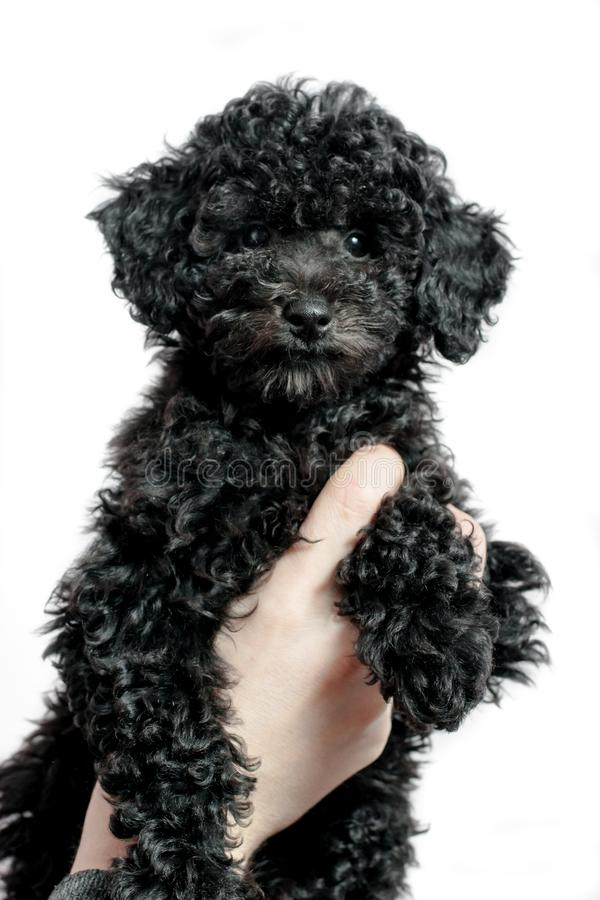 Black puppy poodle on white background stock photography