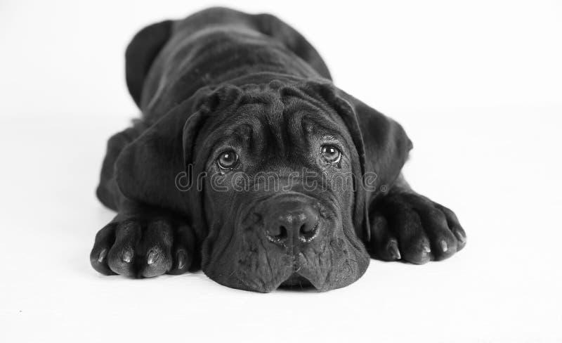 Black puppy in professional studio stock photo