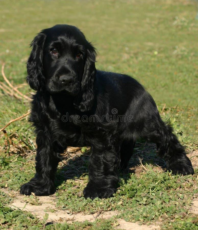 Black puppy spaniel cocker stock image. Image of animal