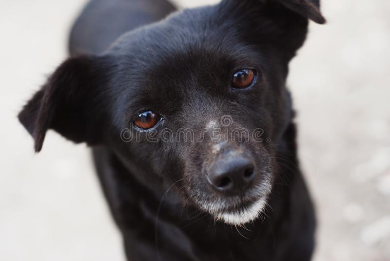 Homeless Lonely Black Puppy Stray Dog Face with lonely Eyes royalty free stock photo