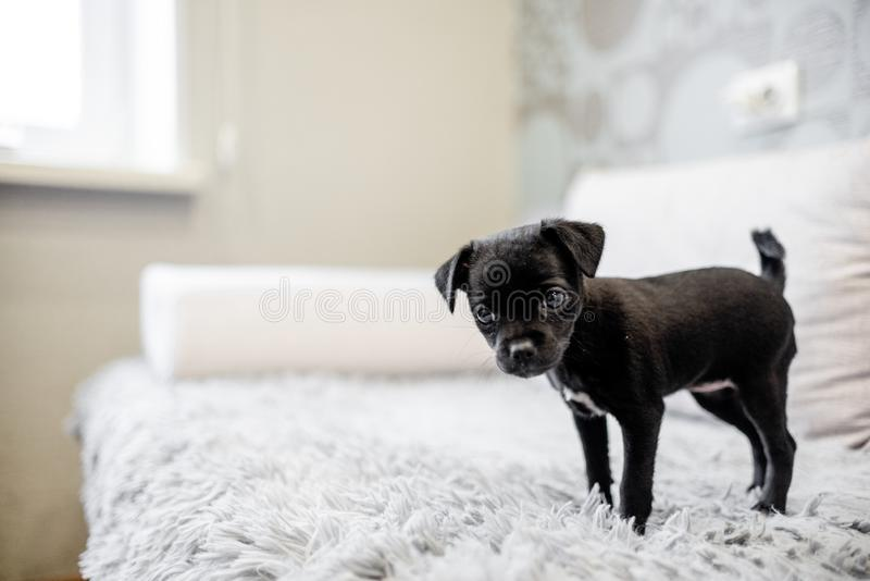 Black puppy toy terrier sitting on a sofa stock images