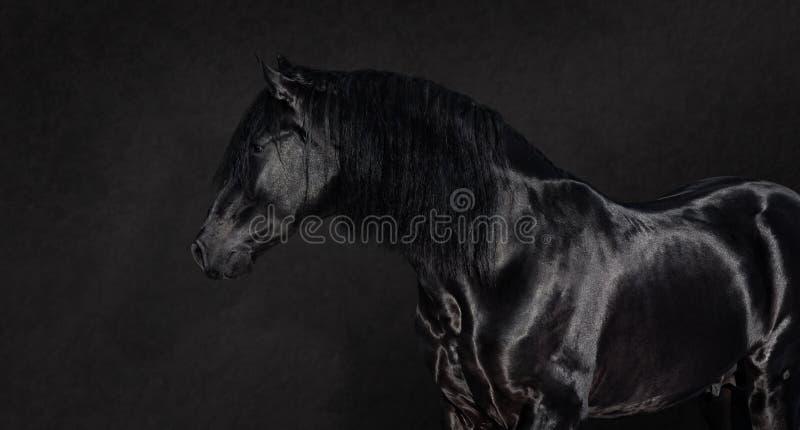 Black Pura Spanish stallion on dark background. Portrait of black Pura Spanish stallion on dark background stock image
