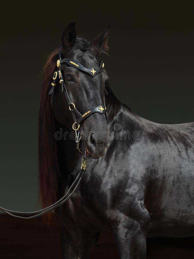 Black purebred horse portrait in dark backdround stock photography