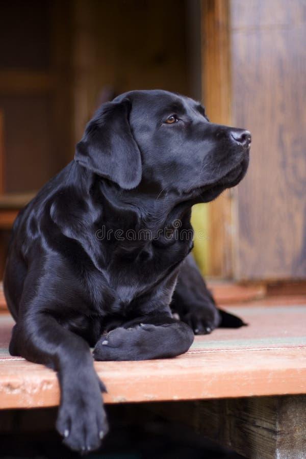 Black purebred labrador. The black purebred labrador Bady royalty free stock photos