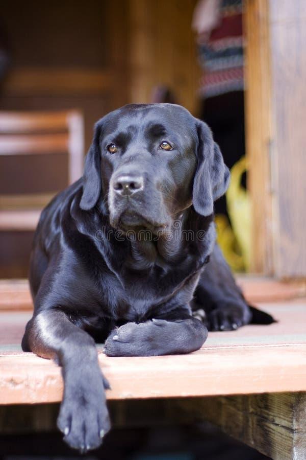 Black purebred labrador royalty free stock photo