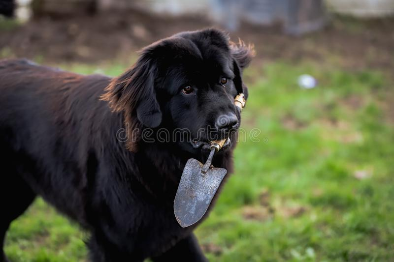 Black purebred newfoundland dog with a garden shovel in its mouth. Outside royalty free stock photo