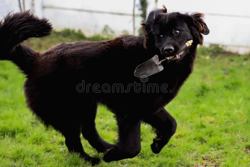 Black purebred newfoundland dog with a garden shovel in its mouth. Outside stock photo
