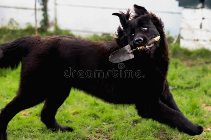 Black purebred newfoundland dog with a garden shovel in its mouth. While running away in a funny pose stock photo