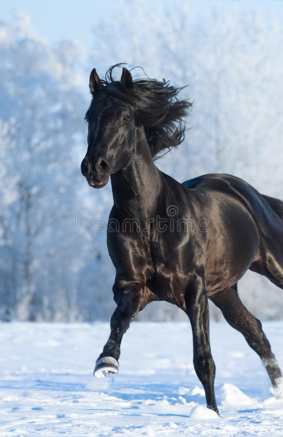 Black purebred stallion running fast gallop. Black purebred horse running fast gallop across a winter snowy field royalty free stock photo