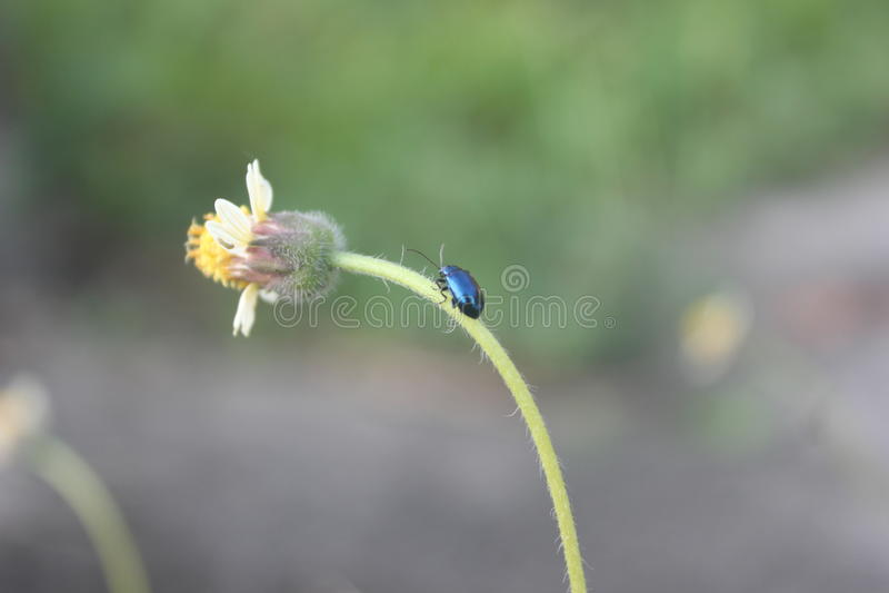 Black Purple Bug on the Stalk of Wild Flower stock photography