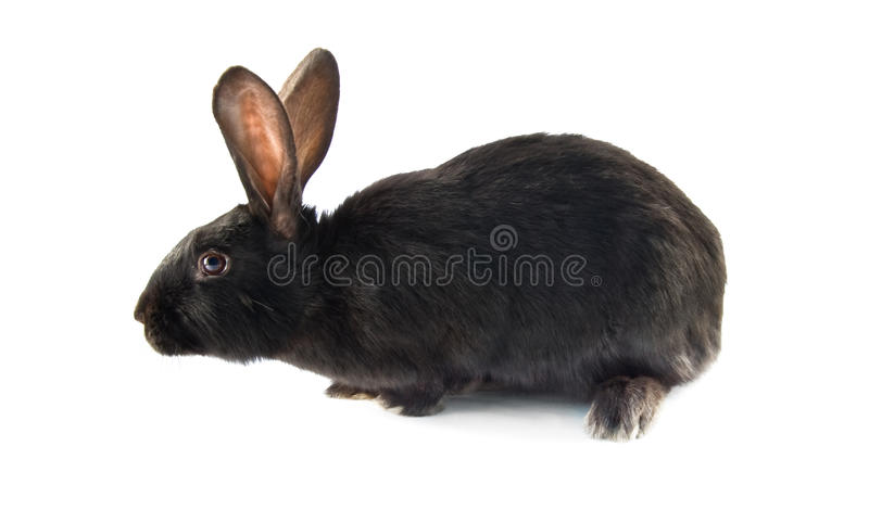 Download Black rabbit stock image. Image of isolated, pets, space - 17859315