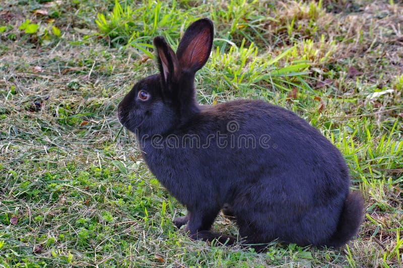 Wild animal. Black rabbit stock image