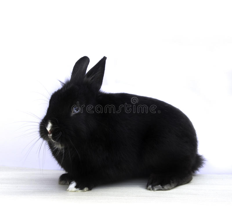 Black rabbit stock photos